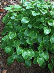 Hostas in the woodland garden.